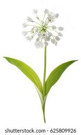 wild garlic plant isolated on white background
