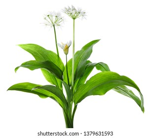 Wild garlic or Ramsons - Allium ursinum isolated on white background. Wild garlic used in the kitchen. Spring herb that grows in a forest suitable for eating.