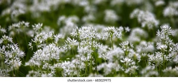 Wild Garlic or Ramsons (Allium ursinum) in flower, Eifel, Germany.