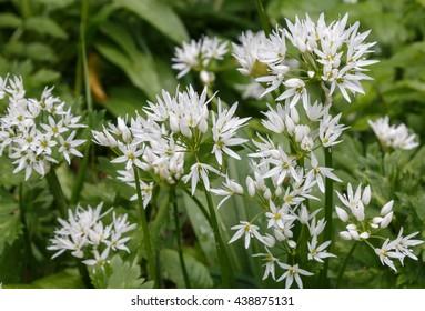 Wild garlic or Ramsons in flower in an English woodland. Allium ursinum  known as  buckrams,  broad-leaved garlic, wood garlic, bear leek or bear's garlic?? is a wild relative of chives