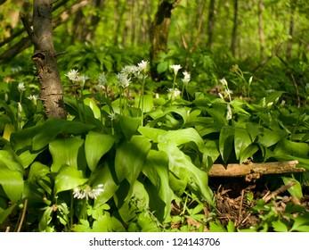 Wild garlic in spring forest - Allium ursinum
