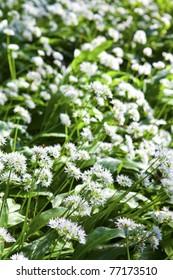 Wild garlic in spring, Lineover wood, Cheltenham
