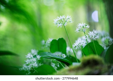 wild garlic, white spring wildflower, Allium ursinum, wild forest flower