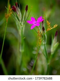 Wild geranium with tiny pink flowers
