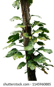 Wild giant pothos or Devil's ivy (Epipremnum aureum) the tropical forest vine plant climbing on jungle tree trunk isolated on white background, clipping path included.