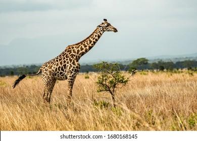 Wild giraffe in savana grasss, Tanzania, Africa