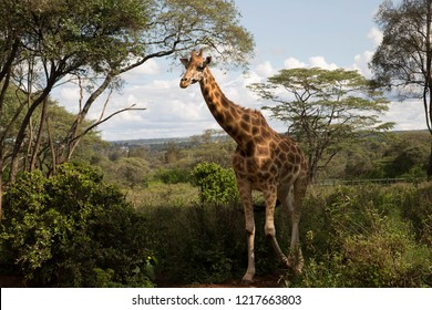 A wild giraffe walk though the brushwood grasslands in Giraffe centre in Nairobi Kenya