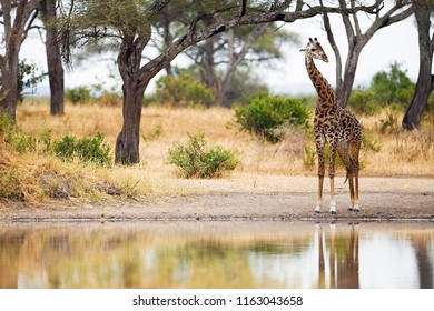 Wild Giraffe at watering hole in Africa