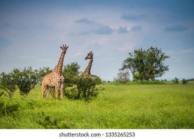Wild giraffes in african savannah. Tanzania. National park Serengeti