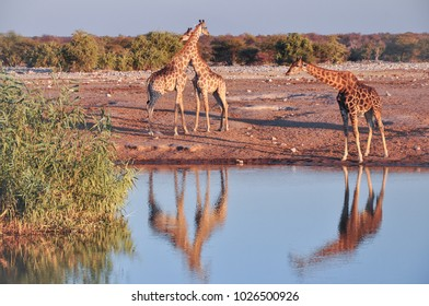 Wild giraffes drinking water on sunset, Etosha National Park in Namibia
