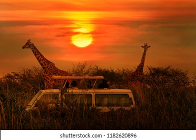 Wild Giraffes in the savanna. Tourists during safari take pictures of giraffes. African sunset background