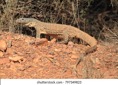 wild goanna on a hill in outback Australia during a sunny day