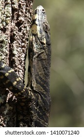 Wild goanna spotted in national parks in Australia