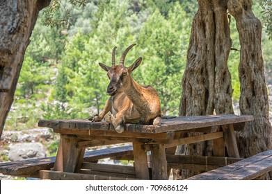 Wild goat called Kri-Kri sitting on a table in Samaria Gorge on Crete
