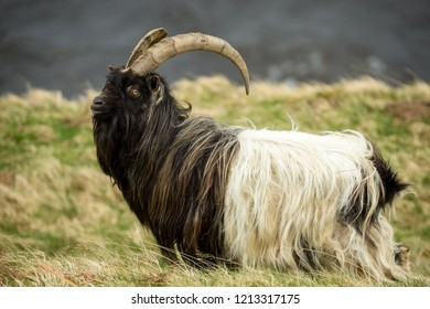Wild Goat in the Highlands of Scotland,  UK. A non native domestic species which has become wild and freely roams the highlands and islands.Scientific name: Capra aegagrus hircus. Horizontal. Daytime