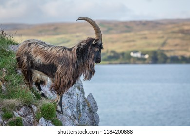 Wild Goat, , Islay, Inner Hebrides, West Coast of Scotland