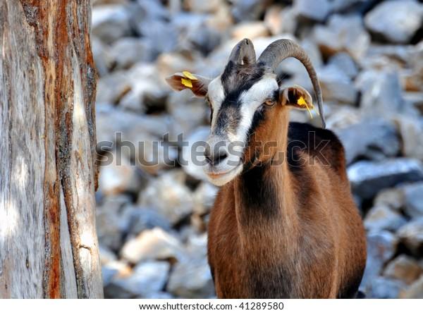 Wild goat (Kri-Kri) in the mountains of Crete, Greece.
