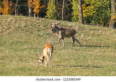 wild goat markhor (Capra falconeri) and blackbuck (Antilope cervicapra) in the ZOO