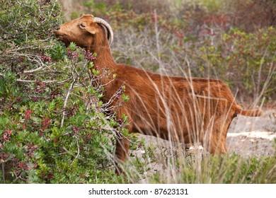wild goat on mallorca island