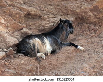 wild goat on the mountainside