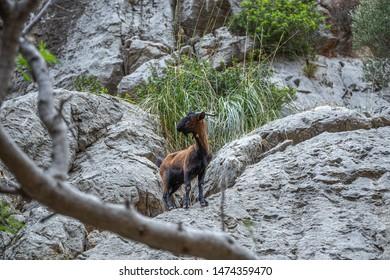 Wild goat  in the Sierra de Tramuntana mountains in Mallorca, Spain