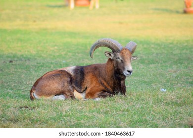 wild goat sitting in the park