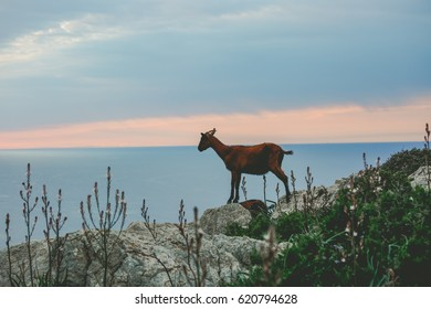 Wild goat standing on a mountain with sunset sky sea in background