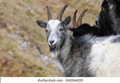 Wild Goats in the British Countryside