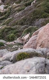 Wild goats grazing on the grass on Sardinia island, Capo Testa.