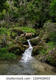 Wild Goats Jumping over Stream, New Zealand