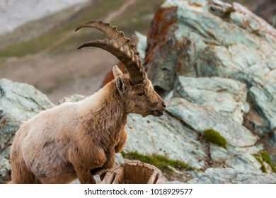 Wild goats in the mountain