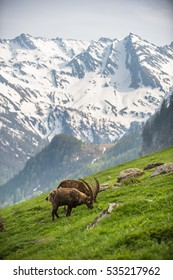 Wild goats in the mountain, background of mountains full of snow