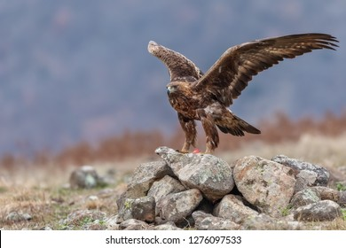 wild golden eagle with prey, golden eagle in winter with catch