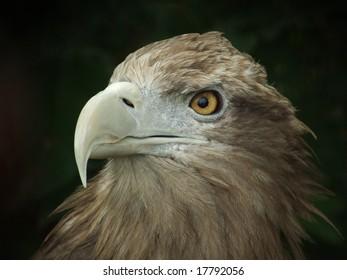 Wild Golden Eagle staring