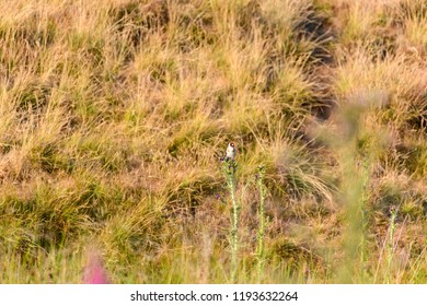 Wild Goldfinch feeding on thistles in Yorkshire Dales, UK
