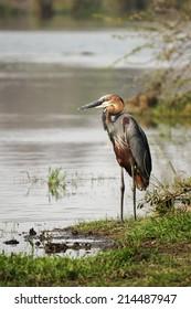 A wild Goliath Heron bird standing next to a river
