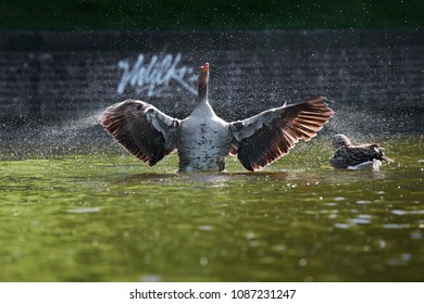 Wild goose shakes the water from its feathers