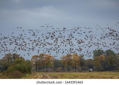 Wild Goose in winter Netherlands