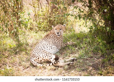 A wild gorgeous elegant cheetah (Acinonyx jubatus) resting in shadow after a good hunt. Maasai Mara National Park, Kenya