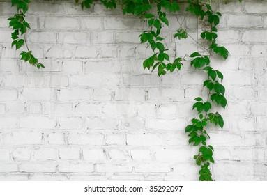 wild grape on the white brick wall