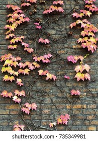 Wild grapes background in autumn on a brick wall