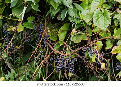 Wild Grapevine or wild grape Grape is an important source of food for a variety of songbirds, gamebirds, and small mammals.Most of the species in the Vitis genus are native to  central North America