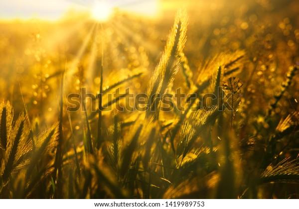 Wild grass backlit by setting sun shallow DOF