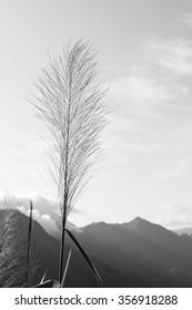 Wild grass, Black and white (monochrome) picture.