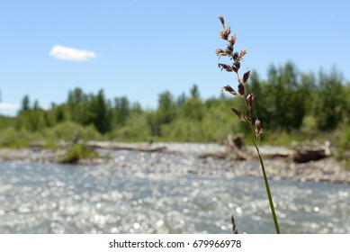 Wild Grass by the Fast Flowing River