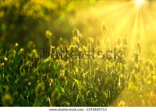 Wild grass filled with sunset light in summertime