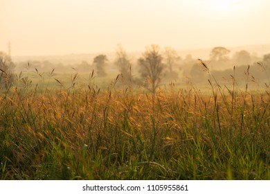 Wild grass with golden sky hours in the morning sunrise.