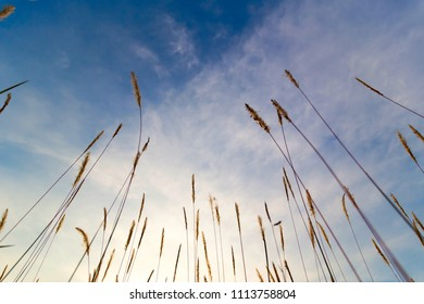 Wild grass from ground level with blue sky and sparse white cloud as background, soft focus technique
