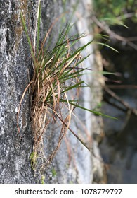 Wild Grass Growing on the Side of a Brick or Stone Wall with the Background Blurred.