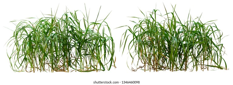 Wild grass isolated on white background. High resolution for professional composition. Tuft of grass